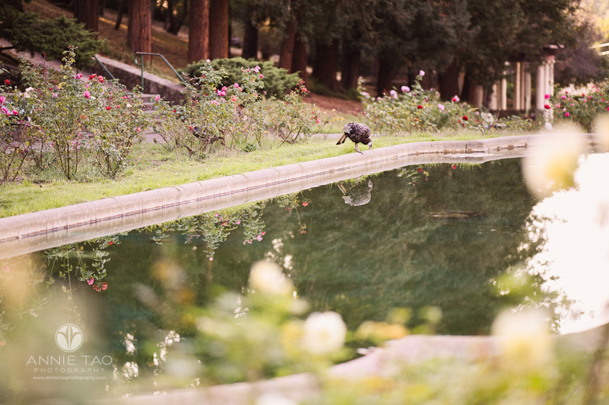 East-Bay-lifestyle-photography-wild-turkey-drinking-water-in-reflection-pool-in-rose-garden