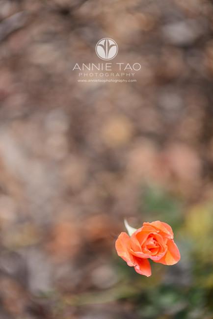 South-Bay-lifestyle-photography-single-orange-rose