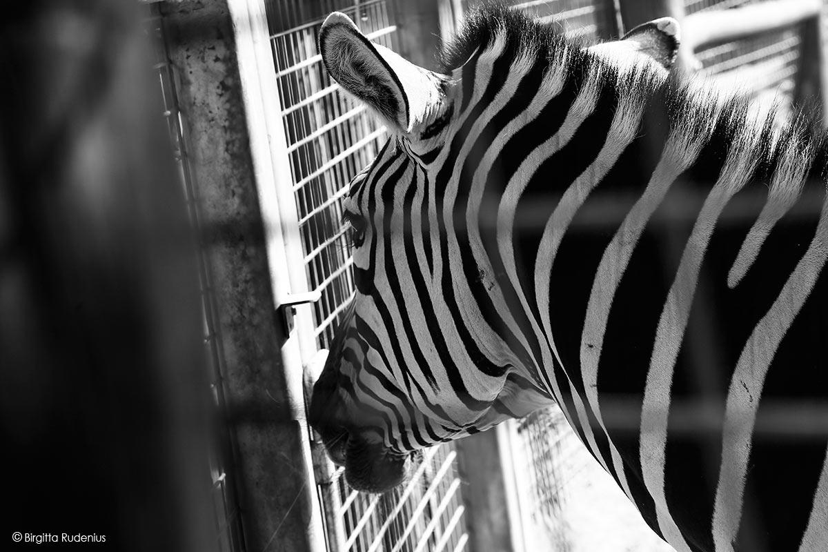 zoo_20130812_sebra