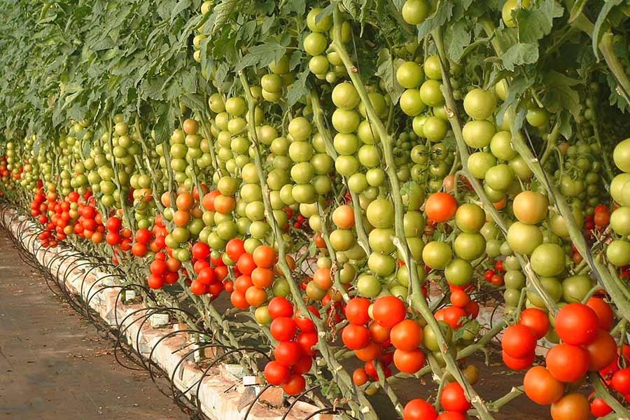pomidor-istixana.jpg