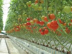 Istixana, теплица, sera, greenhouse
