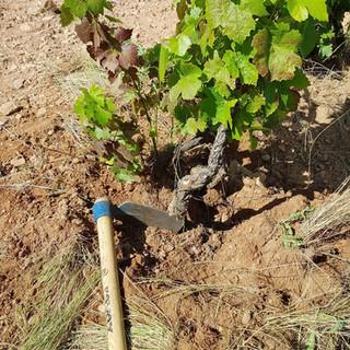 vignes-saint-amour-agape-7.jpg