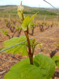 vignes-saint-amour-agape-1.jpg