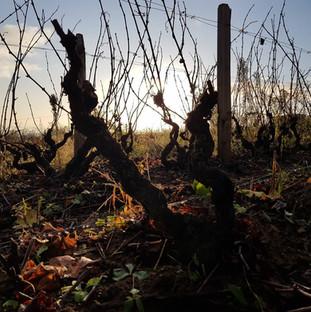 vignes-saint-amour-agape-2.jpg