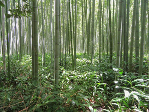 Bamboo and Restoring Land to fight Climate Change