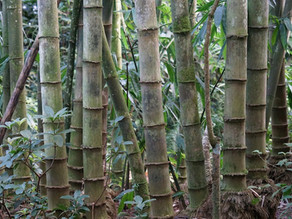 Bamboo's Role in Fighting Global Warming
