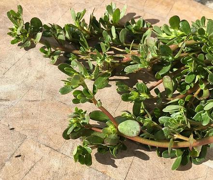 Purselane herb.PNG