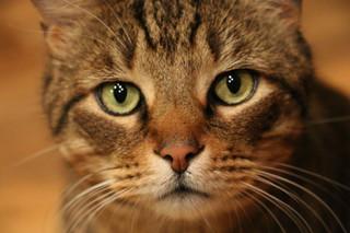 "Dr. Henderson's Cat ""Happy"""
