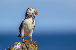 puffin-with-fish-77825001