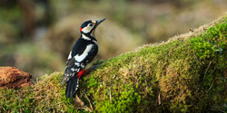 great-spotted-woodpecker-68322930