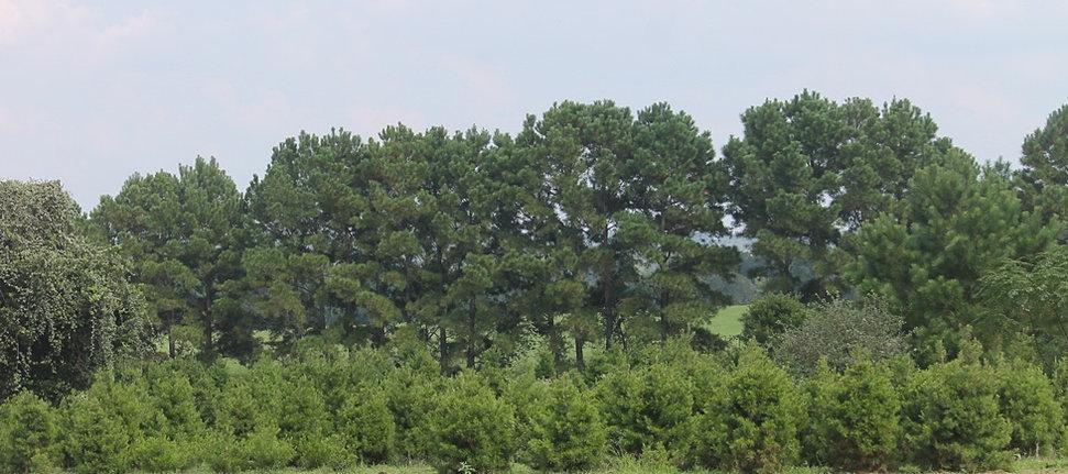 Evergreen Christmas Tree Farm