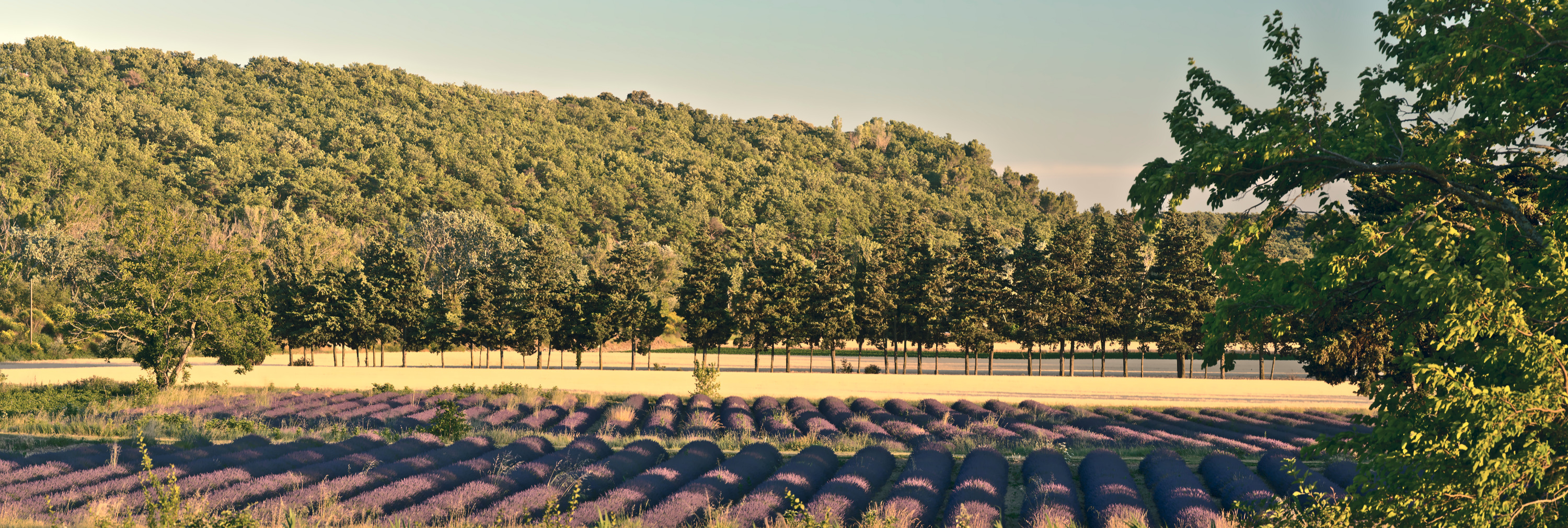 Visit Provence with your native French teacher and enjoy the lavender fields
