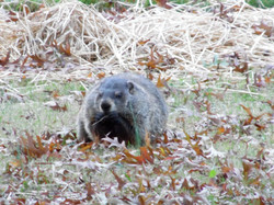 Beaver is Watching