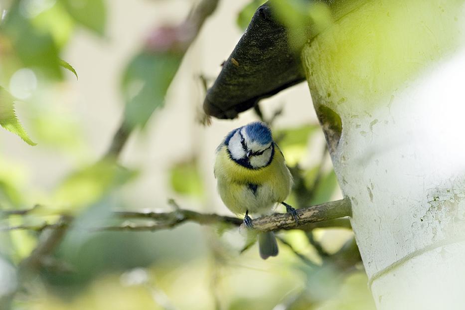 Blaumeise vor Vogelhaus_1