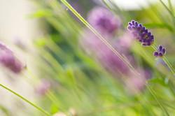 Hintergrundmotiv-Lavendel