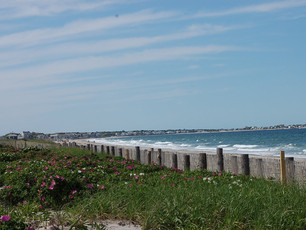 Rosa Rugosa and Duxbury Beach