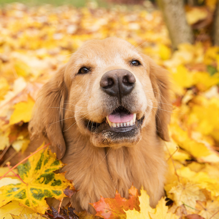 Golden Retriever dog in a pile of yellow