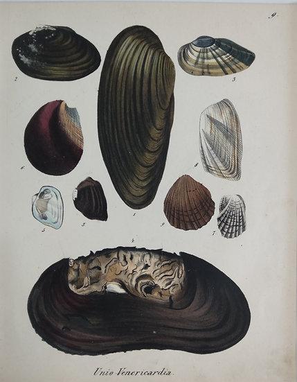 Shells - Hand Coloured Lithograph Circa 1840 (Uni Venericardia)