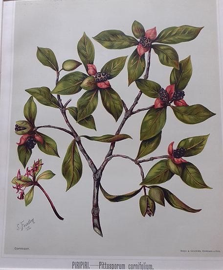 Featon's NZ flowers - Pittosporum Cornofolium