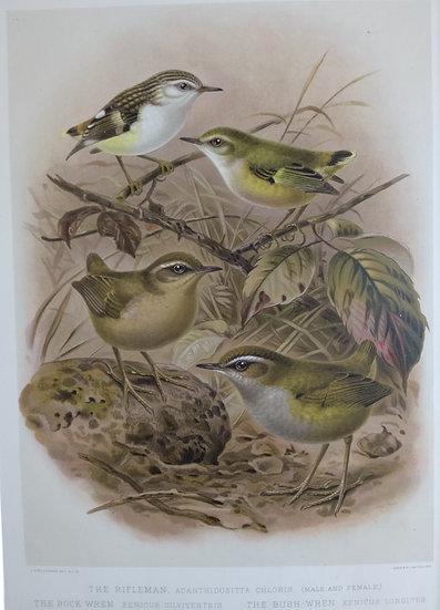 Buller's Birds - Rifleman, Rock and Bush Hen - Chromolithograph 1888