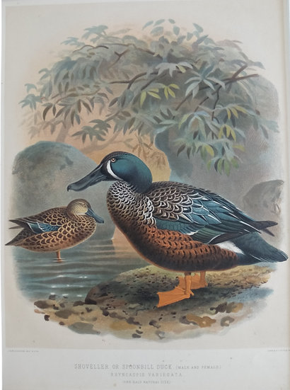 Buller's Birds - Shoveller and Spoonbill Duck - Chromolithograph 1888