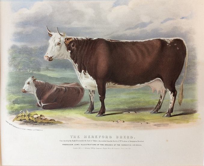 Professor Low's Domestic Animals - The Hereford Breed