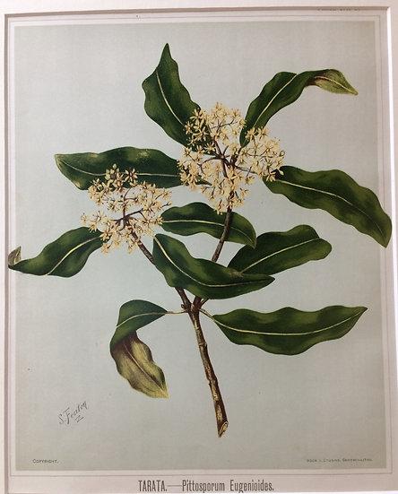 Featon's NZ flowers - Tarata Pittosporum Eugenioides