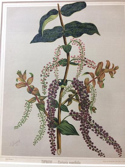 Featon's NZ flowers - Tipakihi Coriaria Ruscitolia
