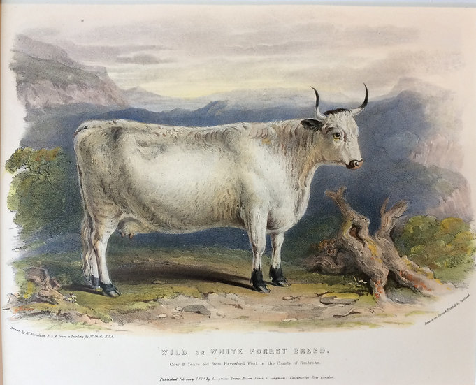 Professor Low's Domestic Animals - Wild or white forest breed cow