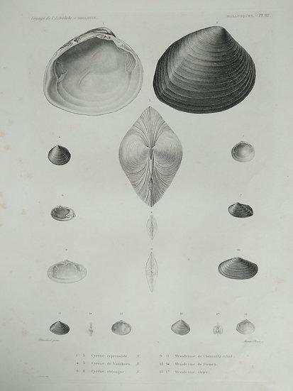 Molusques (seashells) - Voyage de l'Astrolabe Original Lithographs 1835