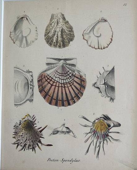 Shells - Hand Coloured Lithograph Circa 1840 (Pecten Spendylus)