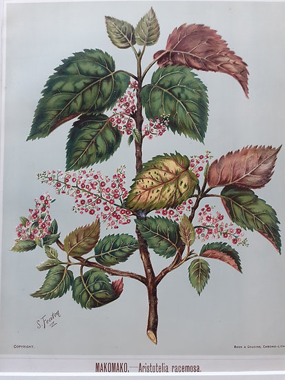 Featon's NZ flowers - Makomako Aristotelia Recemosa