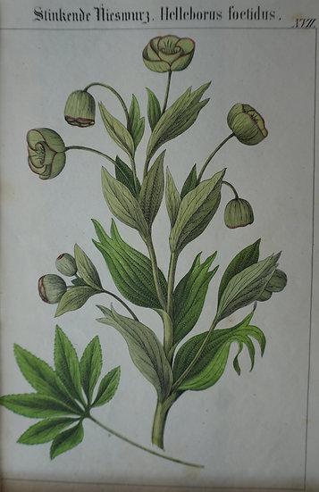 Hellebonis. German hand coloured lithograph. C. 1860. 280 X 180 mm