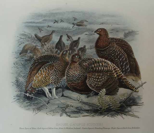 Grouse Chromolithograph - Three types of hens