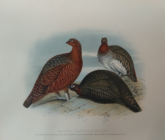 Grouse Chromolithograph - Lagopus Scoticus