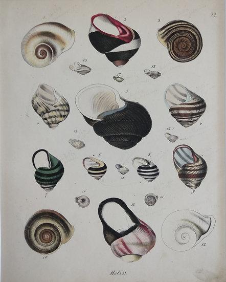 Shells - Hand Coloured Lithograph Circa 1840 (Helix)