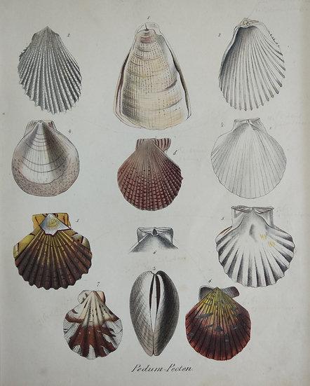 Shells - Hand Coloured Lithograph Circa 1840 (Pedum Pecten)
