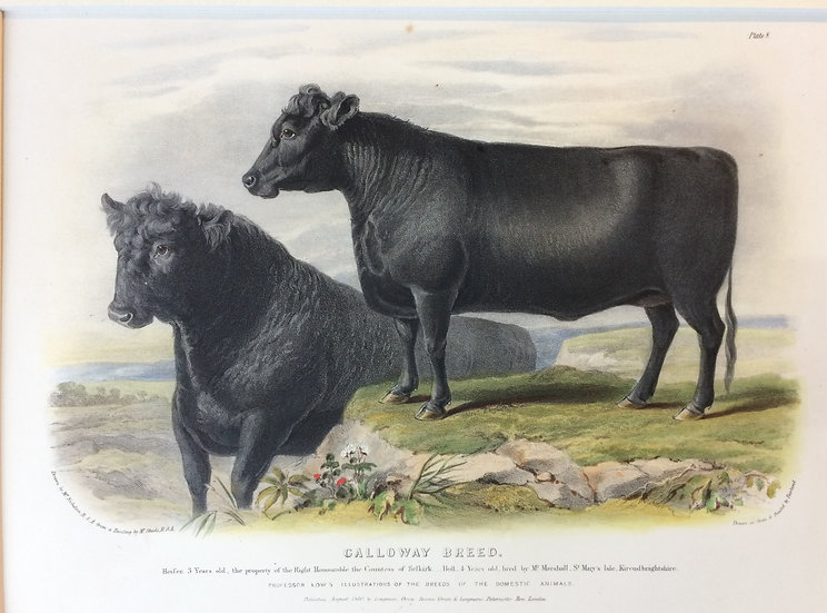 Professor Low's Domestic Animals - The Calloway Breed