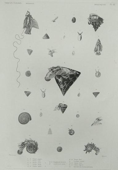 Molusques (seashells) - Voyage de l'Astrolabe Original Lithographs 1835 Plate 62