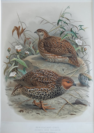 Buller's Birds - NZ Quail - Chromolithograph 1888