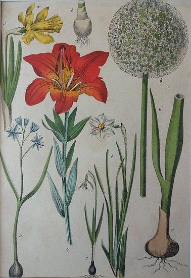Botanicals Germany VII 1865 Hand Coloured Lithographs
