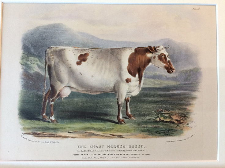 Professor Low's Domestic Animals - The Short Horned breed