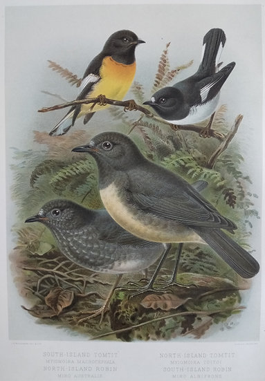 Buller's Birds - South and North Island Tomtit and Robin - Chromolithograph 1888