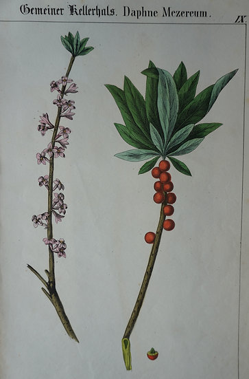 Daphe Mezereum. German hand coloured lithograph. C. 1860. 280 X 180 mm