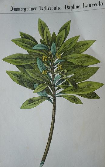 Daphe Laureola. German hand coloured lithograph. C. 1860. 280 X 180 mm