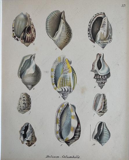 Shells - Hand Coloured Lithograph Circa 1840 (Dollum Columbella)