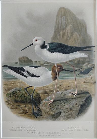 Buller's Birds - Red Necked Avocet and Pied Stilt - Chromolithograph 1888