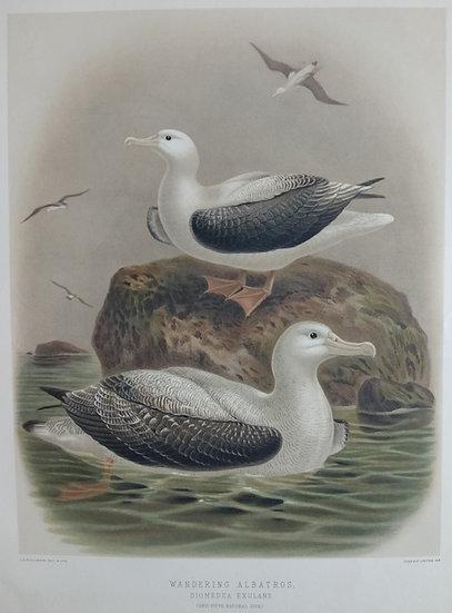 Buller's Birds - Wandering Albatross - Chromolithograph 1888