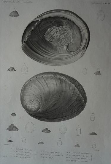 Zoologie Mollusques. Voyage de l'Astrolabe Plate 68. 1835. 270 X 400 mm