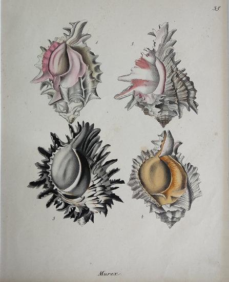 Shells - Hand Coloured Lithograph Circa 1840 (Murex large)